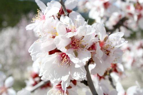 Hanakotoba (Bahasa Bunga) Almond-blossom