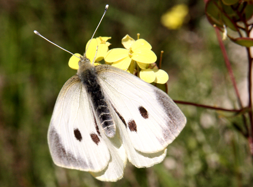 cabbage-white.jpg