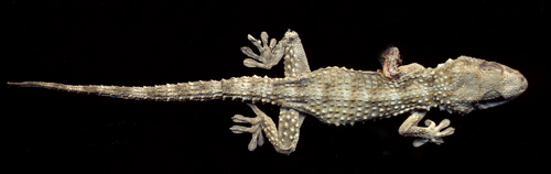gecko-from-above.jpg