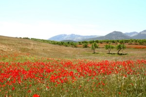 poppies near Maria