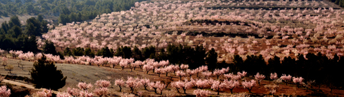 almond blossom event